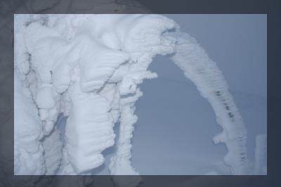 Sorbier des oiseleurs couvert de givre sculté par le vent au Hohneck.